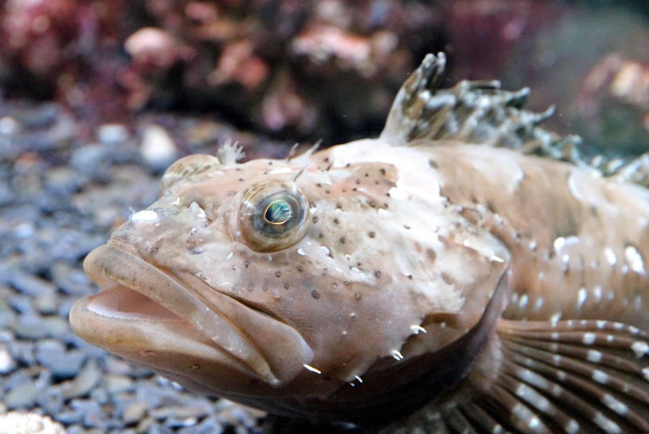 Бычки - рыба морская или речная? :: syl.ru