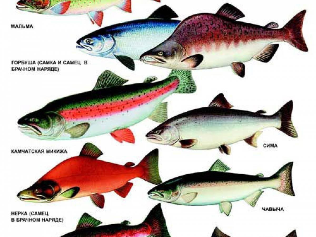 В чём польза и вред рыбы нерки из семейства лососевых