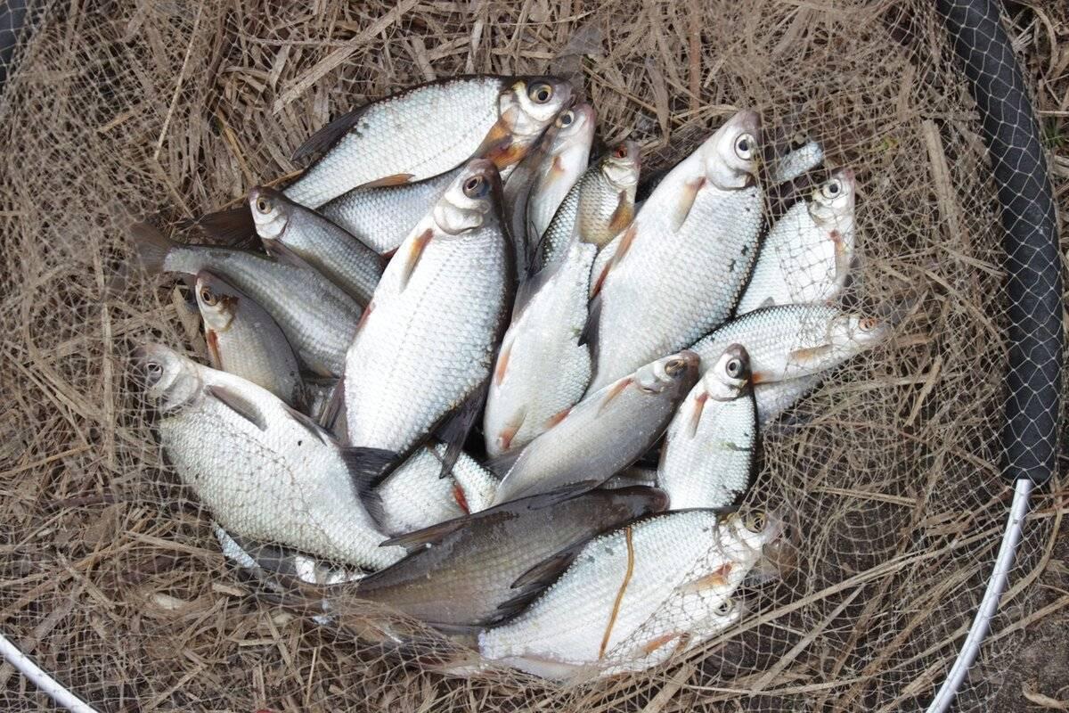 Ловля густеры в мае - читайте на сatcher.fish