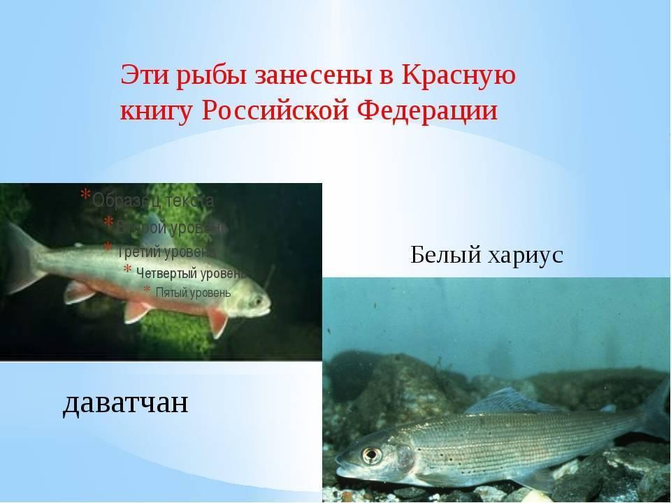 Шамайка – необычная рыба