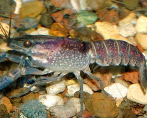 Самый большой рак в природе и аквариуме