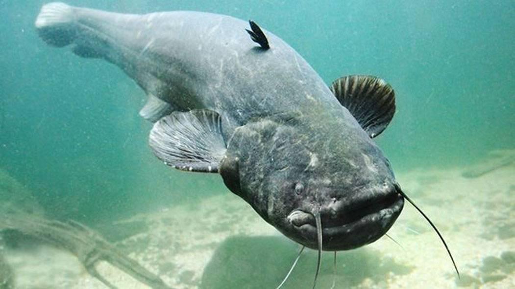 6 популярных аквариумных сомиков и их содержание