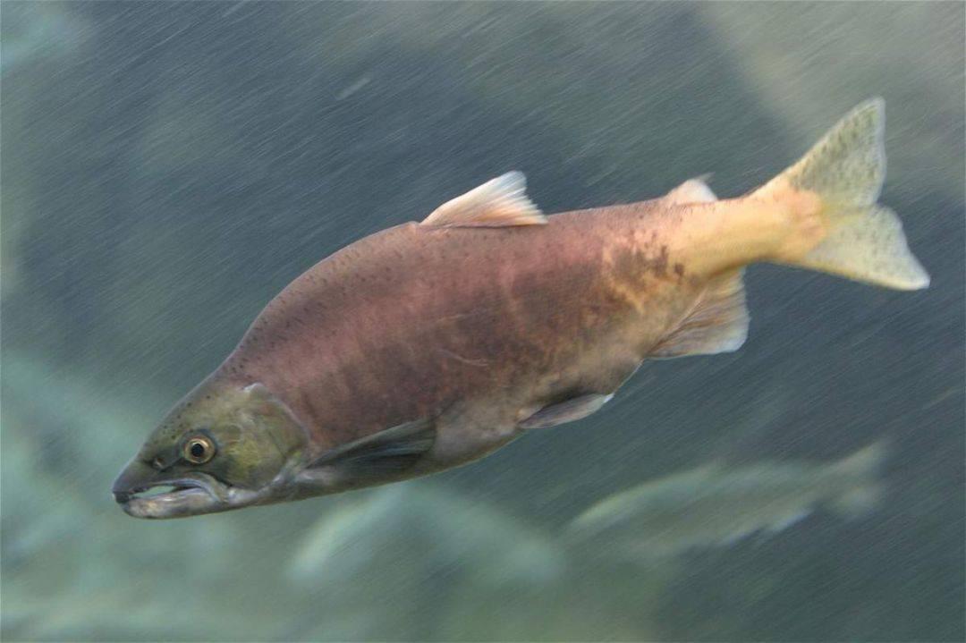 Рыба горбуша фото и описание