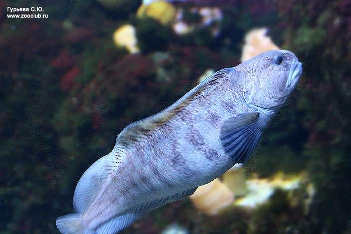 Очень полезная для человека синяя и пёстрая рыба зубатка!
