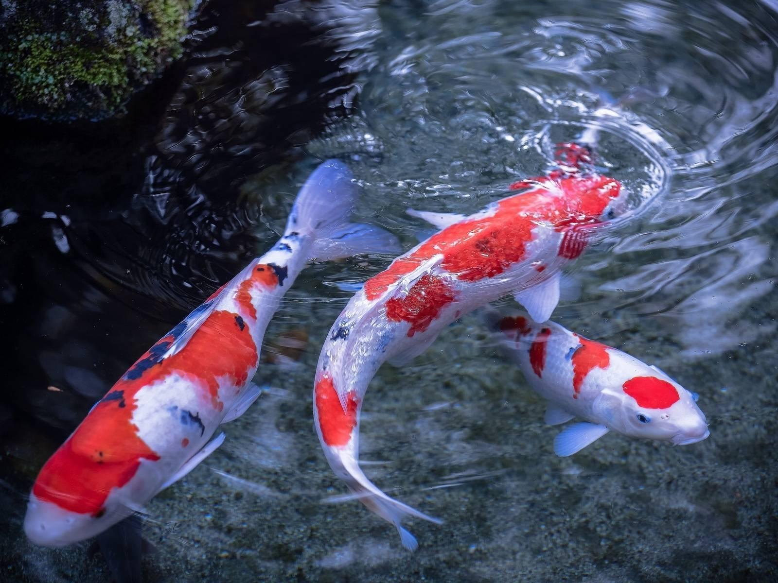 Необычная рыбка кои для аквариума