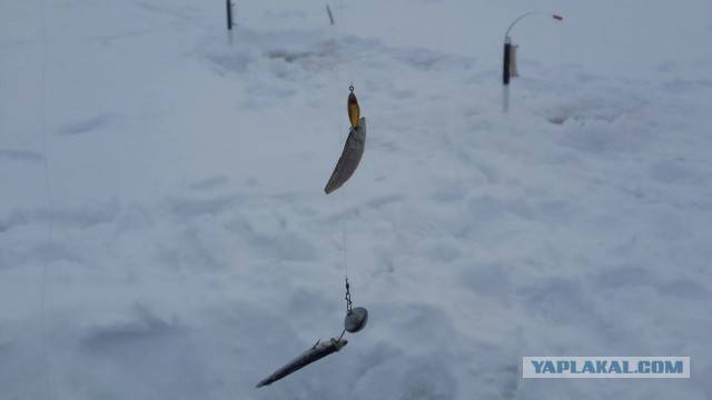 Ловля берша на тюльку зимой: снасти для зимней рыбалки, видео