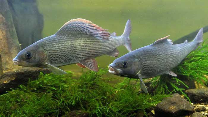 Хариус: фото рыбы, процесс нереста, окраска и виды