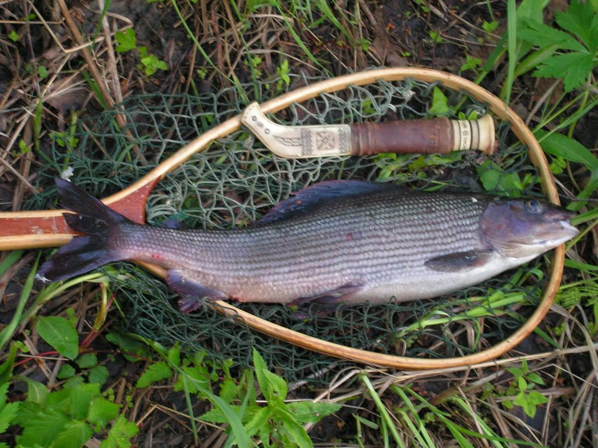 Хариус — фото рыбы, места обитания и виды