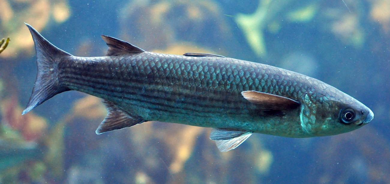 Кефаль что за рыба: фото, описание, как выбрать, рецепты