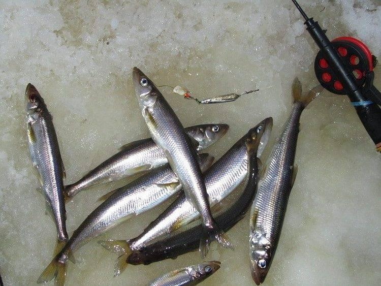 Рыба корюшка: места обитания и особенности ловли