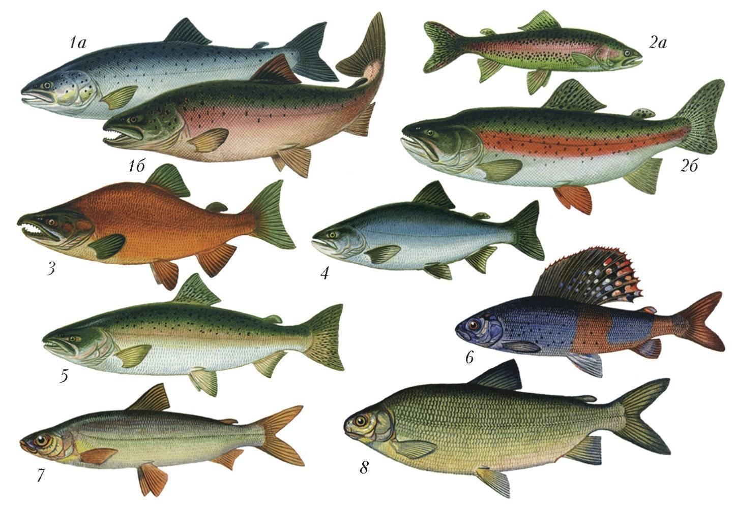 Семейство лососевых: список рыб, нерест и другие названия вида лососеобразных