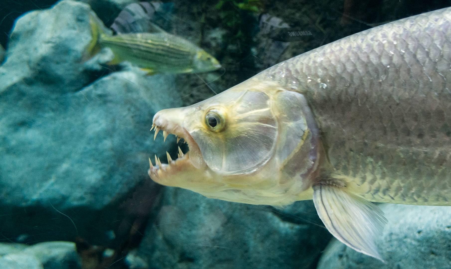 Описание рыбы голиаф, особенности обитания и содержания