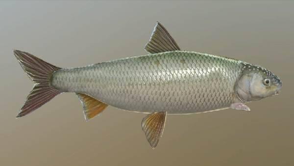 Рыба ряпушка: как выглядит, где обитает, как ловить и выращивать