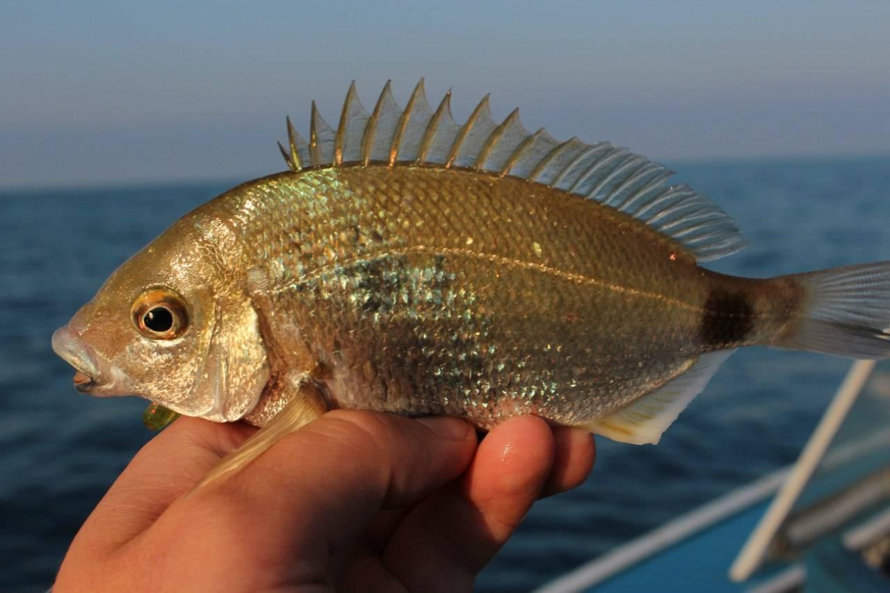 Снасти для ловли морских карасей - рыбалка