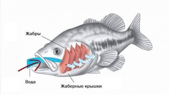 Как дышат рыбы в воде. чем дышат рыбы в воде