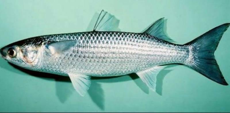 Что за рыба кефаль: где водится, особенности строения, чем полезна и как готовить   berlogakarelia.ru