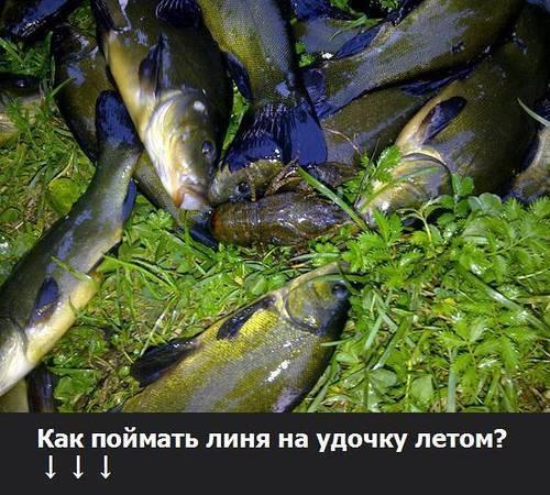 Рыбалка на линя летом