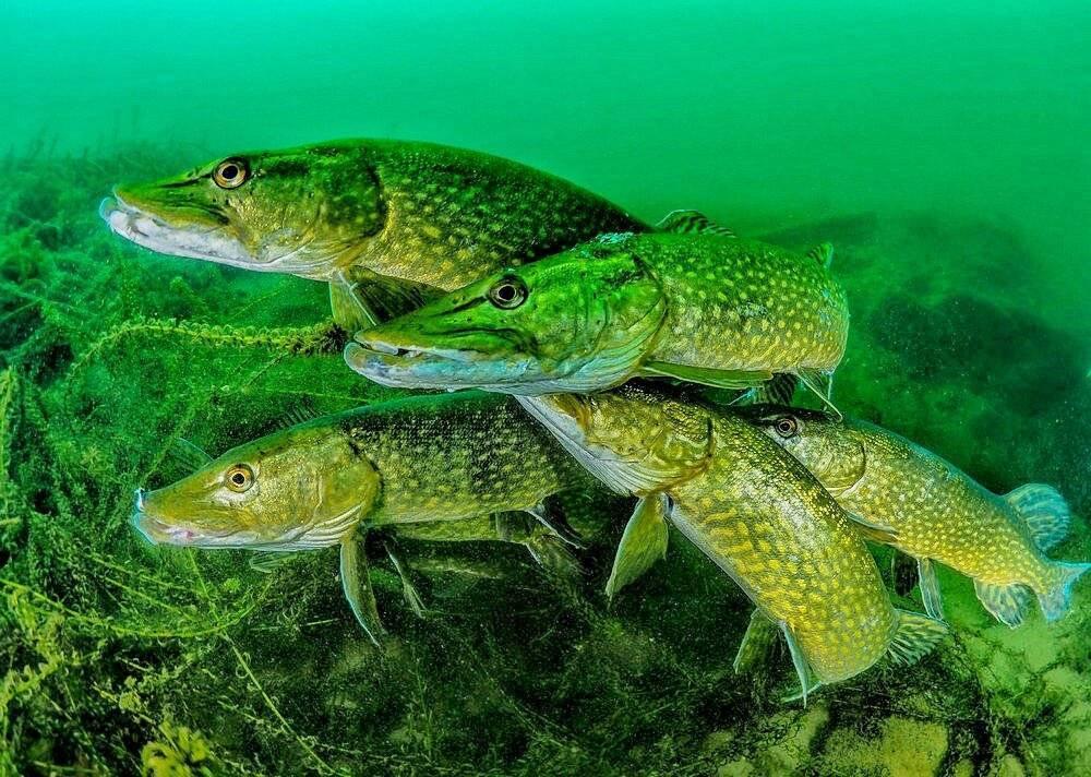 Щука: описание, виды, обитание, питание, нерест, рыбалка, разведение и выращивание