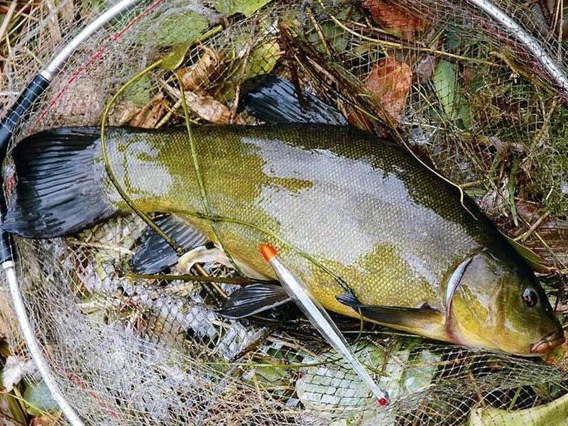 Как ловить линя на поплавочную удочку?