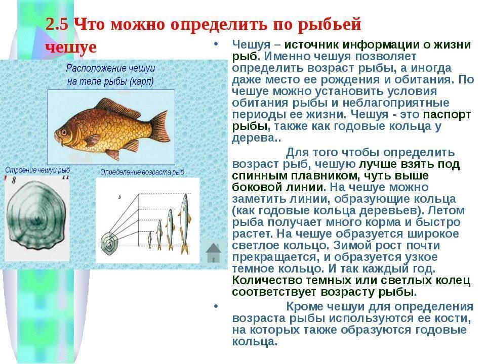 Как определить возраст рыбы по чешуе: особенности годовых колец