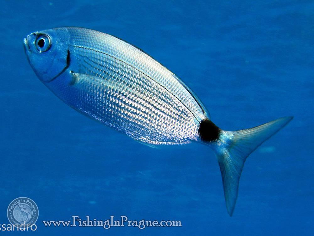 Пецилия рыбка: 13 видов, содержание и уход, размножение, фото