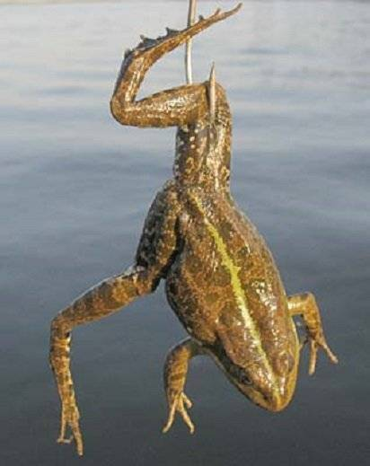Как поймать лягушку для сома просто и быстро - самоделки для рыбалки своими руками