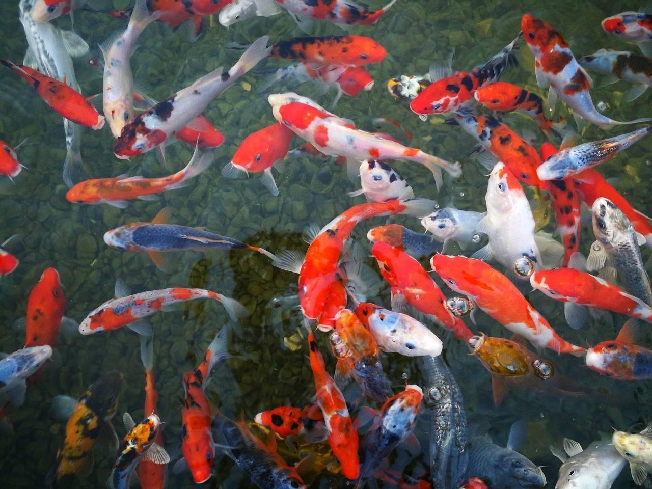 Все виды карпов кои в аквариумистике