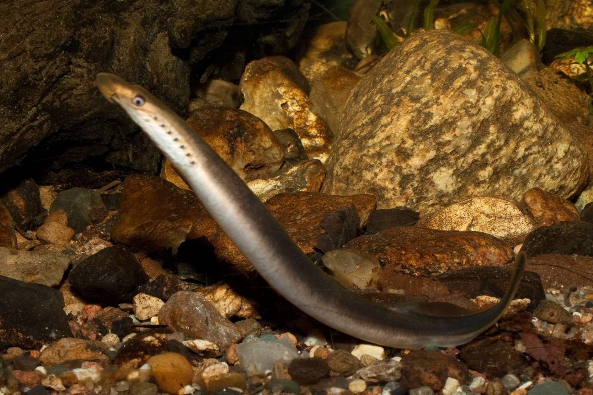 Промысловая рыба невская минога