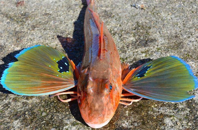 Летучая рыба – фото, описание, где обитает и чем питается