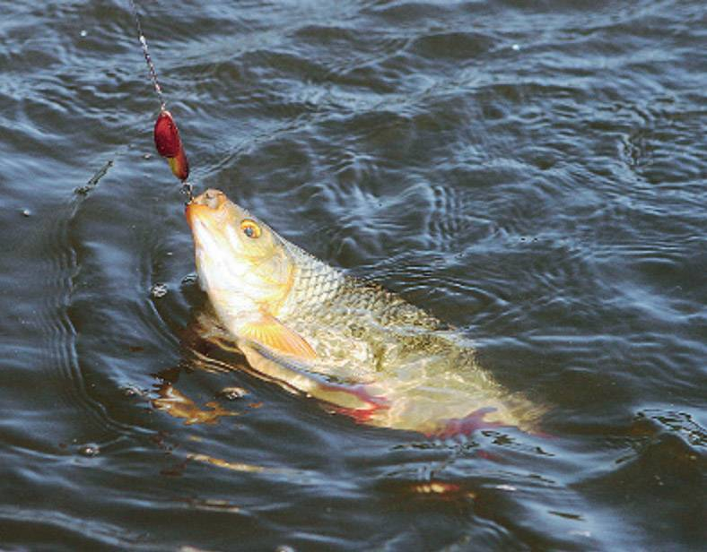 Красноперка. ловля красноперки. приманка для ловли красноперки. рыболовные снасти в рыбалке на красноперку.