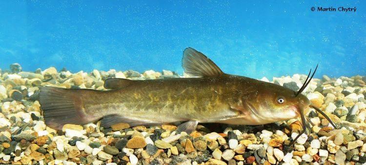 Канальный сомик — выбор места, снастей, наживок и методов лова рыбы. видео ловили + 110 фото сомика