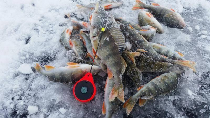 Окуневое перволедье. особенности ловли окуня по первому льду