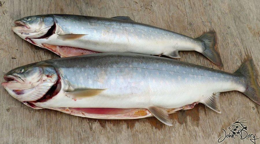 Голец — что это за рыба и что из нее можно приготовить