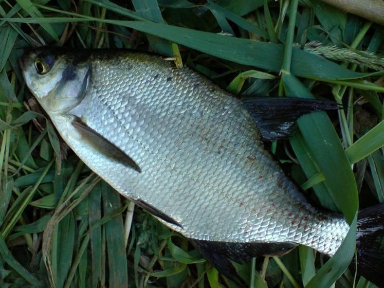 Лещ рыба: описание с фото, нерест, как поймать и вкусно приготовить