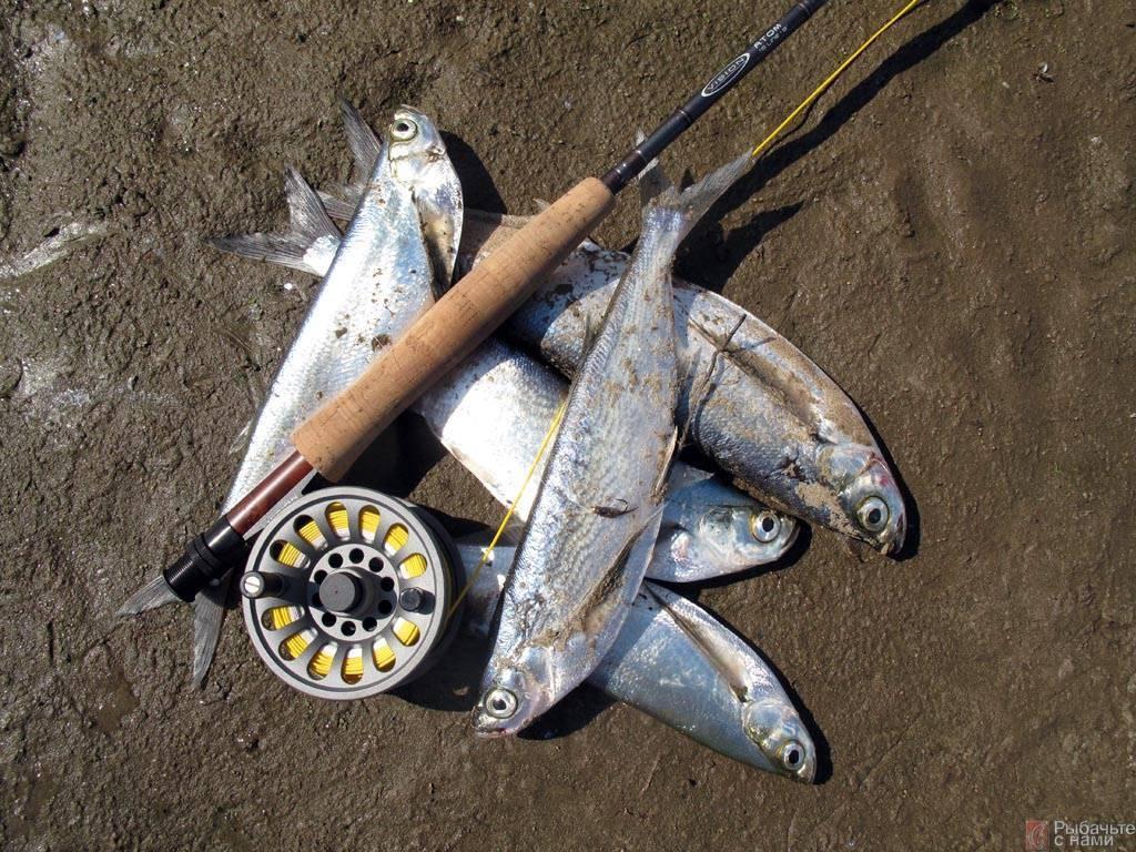 Как ловить чехонь: необходимые снасти для ловли, когда лучше клюет, подбор оснастки для фидера