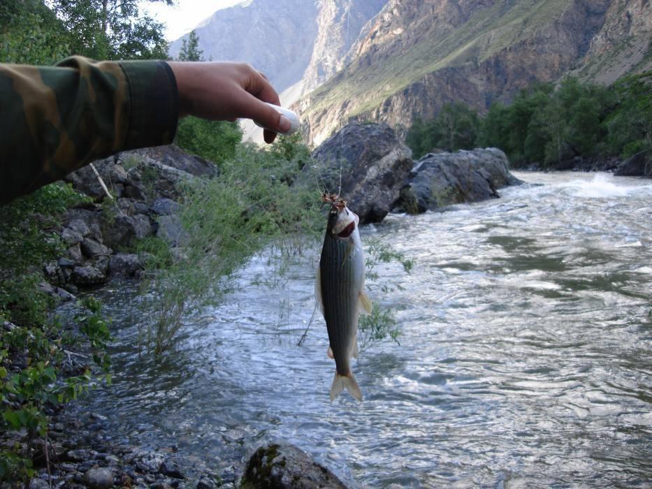 Рыбалка в алтайском крае: виды рыб обитающих в водоемах и места платной и бесплатной рыбалки | berlogakarelia.ru