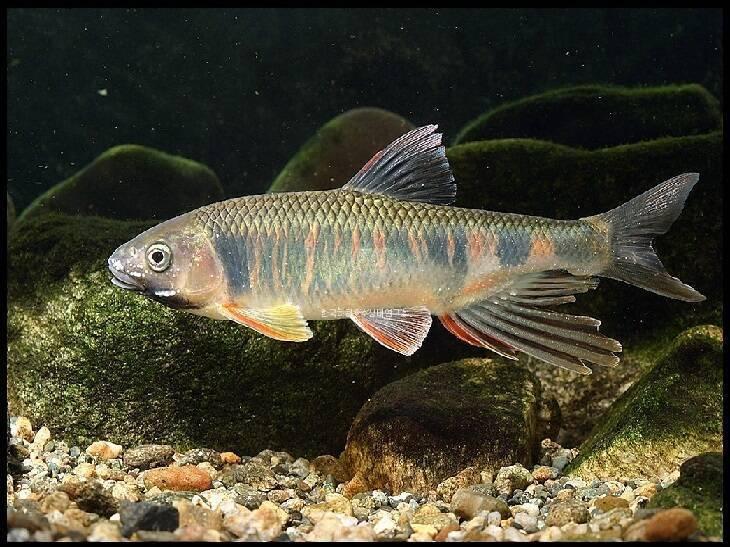 Рыба «Закко обыкновенный» фото и описание
