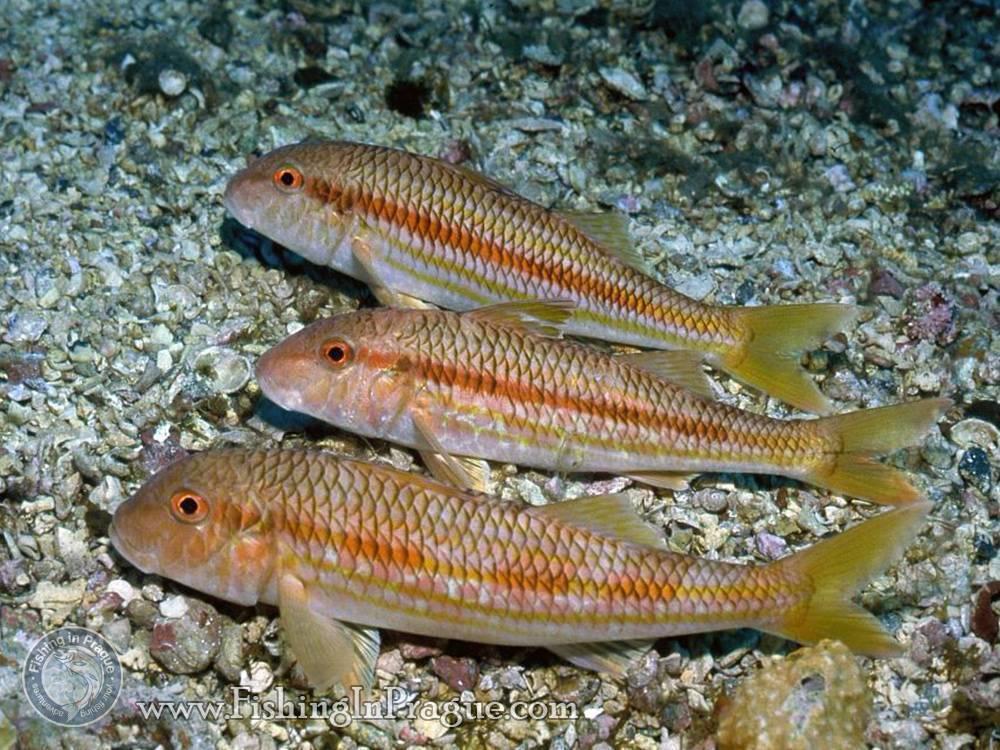 Барабулька черноморская: описание рыбы, фото, чем полезна