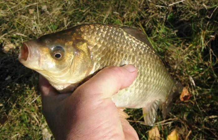 Карась (рыба) – описание, виды, чем питается, где обитает, фото