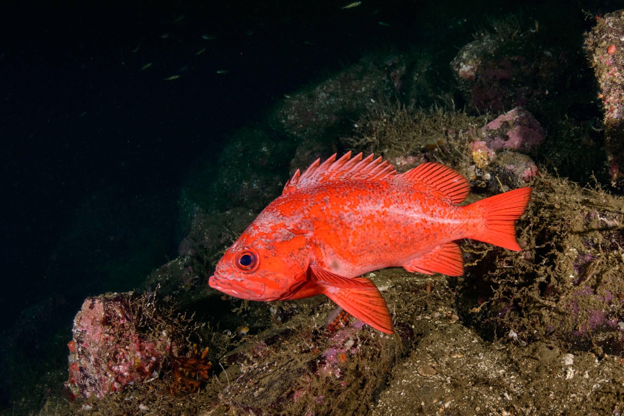 Рыба окунь - образ жизни, питание, полезные и опасные свойства рыбы (90 фото и видео)