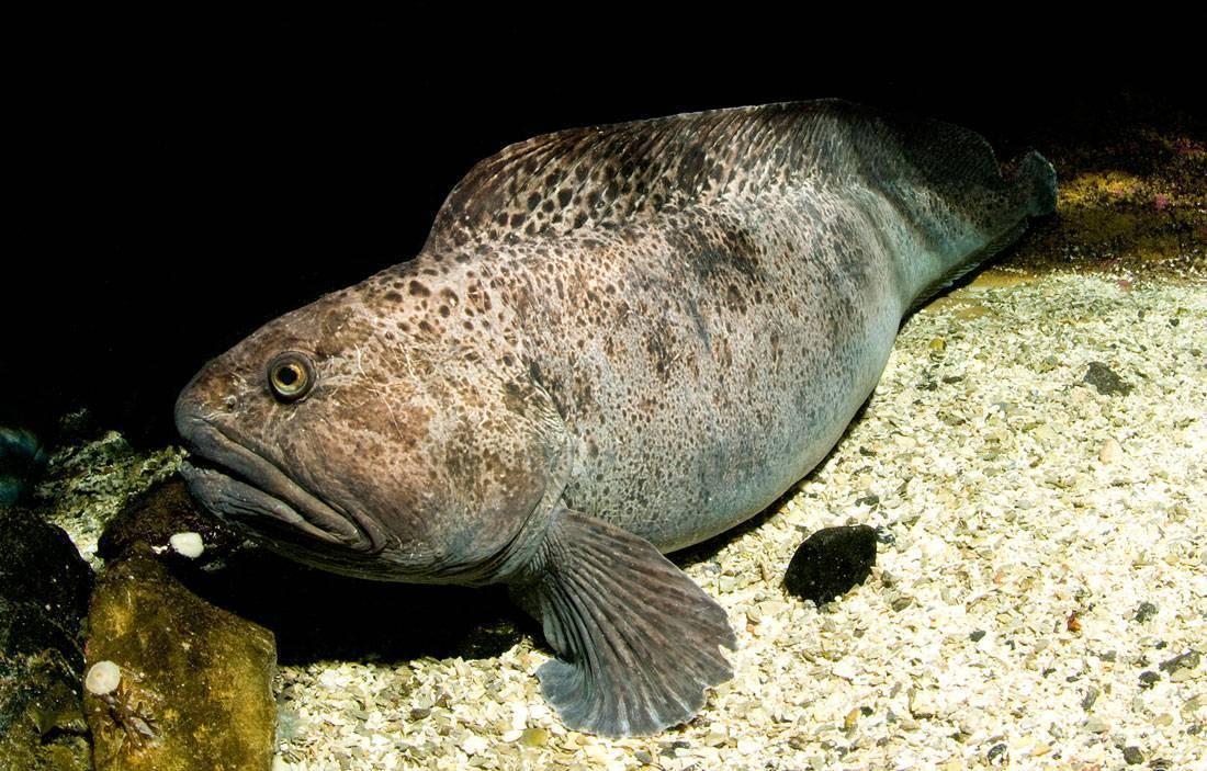 Синяя и пёстрая рыба зубатка — полезные и вредные свойства, оказываемые на организм человека