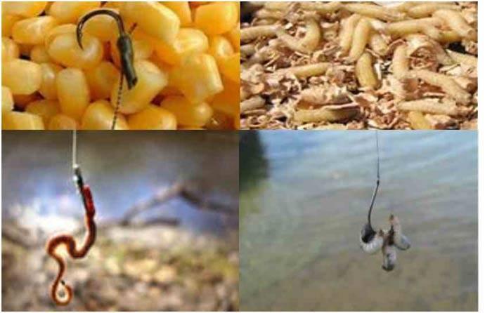 Ловля карася осенью в сентябре, октябре и ноябре - прикормка и правильные наживки