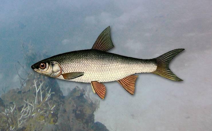Язь: описание рыбы, фото, образ жизни, ловля, разведение и ценные свойства рыбы