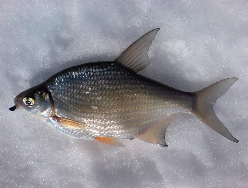 Рыба синец: где обитает, способы ее ловли зимой и летом