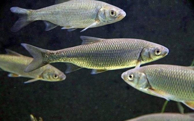 Елец | фото, виды рыб, ареал обитания, образ жизни и способ ловли