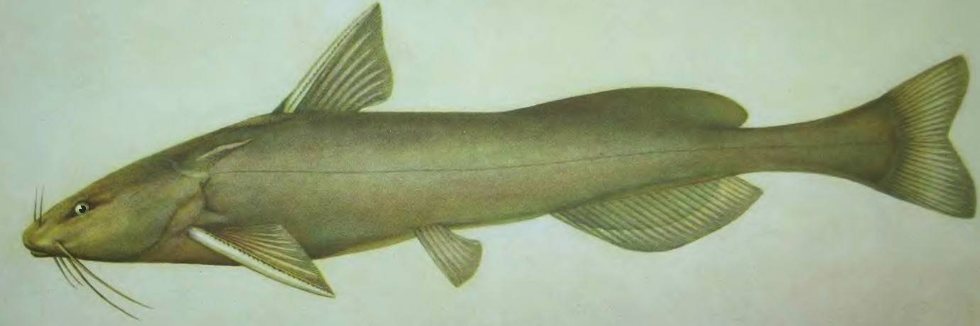 Касатка сиамская: содержание,описание,фото,размножение