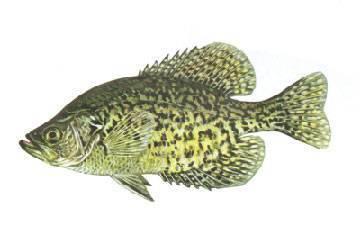 Полосатый окунь - striped bass - qaz.wiki