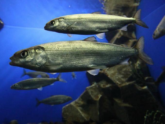 Байкальская рыба: список, описание