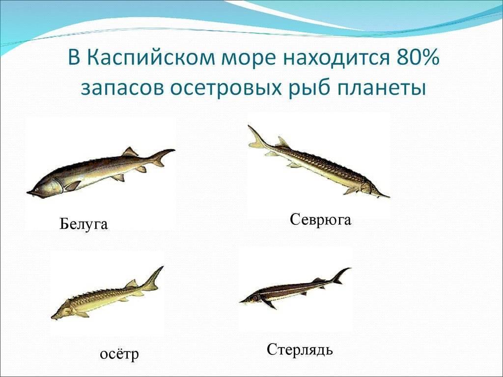 Осетры — википедия. что такое осетры