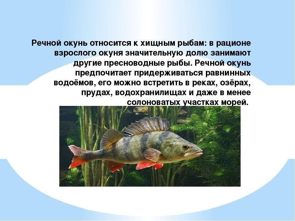 Судак: повадки морского и речного видов